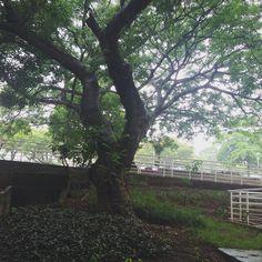 A beleza de uma manhã chuvosa... . . . . . . . . . . . #rain #tree #puccamp #nature #natureza #blogsdaliga #instasqd #instabgs