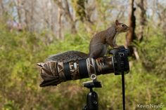 Squirrel Photographer by Kevin Naylor Photography