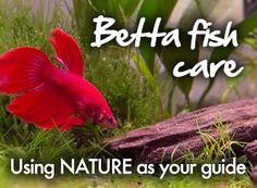 Betta tank set ups how to set up a beautiful betta fish for Betta fish diet
