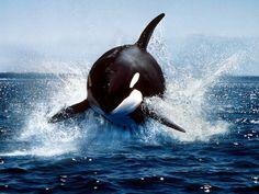 Animal em Destaque - Orca
