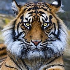 Beautiful creature  what's your favorite type of cat?! #tiger