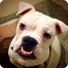 Boston, MA - English Bulldog. Meet GIZMO, a dog for adoption. http://www.adoptapet.com/pet/14392627-boston-massachusetts-english-bulldog