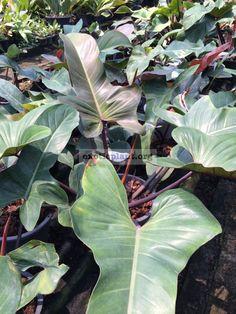 philodendron Spanish Guitar Lush, Plant Leaves, Spanish, Guitar, World, Indoor, Concept, Gardening, Urban