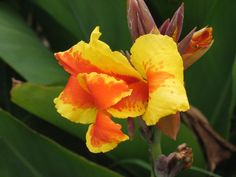 canna pictures