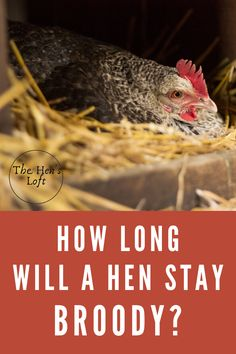 Do you have a broody hen? How long will a hen stay broody? Do you know how to stop a hen from being broody? Unfortunately, egg production stops when a chicken goes broody. Here's a few tips on how to stop your hens from being broody. Raising Backyard Chickens, Backyard Chicken Coops, Pet Chickens, Chicken Facts, Chicken Feeders, Hobbies For Kids, Broody, Chicken Breeds, Baby Chicks