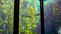 Leopard Sharks in the Kelp Forest at the Monterey Bay Aquarium California Leopard Shark, Kelp Forest, Monterey Bay Aquarium, Sharks, Fish Tank, California, Painting, Shark, Aquarium