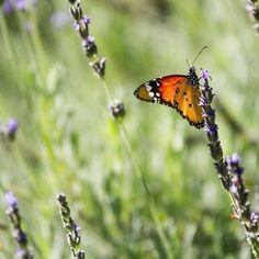 Butterfly by ScheiMedia