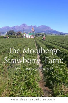 Everything you need to know about strawberry picking in the Stellenbosch winelands just outside of Cape Town. Strawberry Farm, Strawberry Picking, Cape Town, Berries, Travel Humor, All Over The World, Cool Photos, Travel Tips, Things To Do