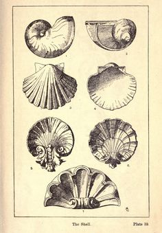 Vintage Ephemera: Engraving, Decorative Seashells, 1920