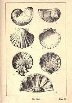 Vintage Ephemera: Engraving, Decorative Seashells, 1920