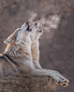 The Wolf relatives howling with each other seeing a poacher Nature Animals, Animals And Pets, Cute Animals, Animals Photos, Wild Animals, Wolf Spirit, Spirit Animal, Beautiful Creatures, Animals Beautiful