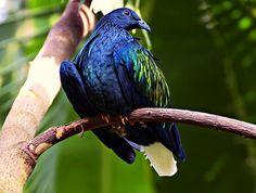 Nicobar Pigeon by Chris Flees