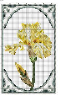 iris giallo-3