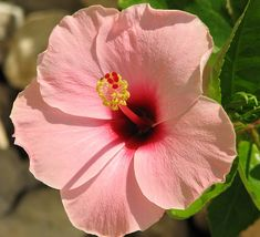 I miss the 3 Hibiscus trees we had at the Spickler house.