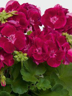 Geranium Plant, Geranium Flower, Amazing Flowers, Pretty Flowers, Red Flowers, Martha Washington Geranium, Ornamental Cabbage, Home Grown Vegetables, Small Gardens