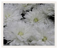 SNOW WHITE.....BEST VIEWED ON BLACK | by PeacefulSolitude51 Snow White, Plants, Photography, Black, Black People, Flora, Plant, Photograph, Fotografie