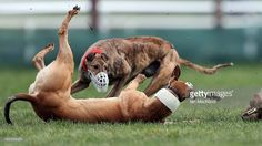 Still awaiting a response from Ireland's Health Service Executive on whether it will halt a project at one of its Day Care Centres that involves people with severe intellectual disabilities in 1) the training of greyhounds for cruel hare coursing events and 2) attendance at hare coursing events, where terrified captive animals are mauled, tossed about, and have their bones broken, and greyhounds are also subjected to injury.  In the 1950s, children from some industrial schools were compelled…