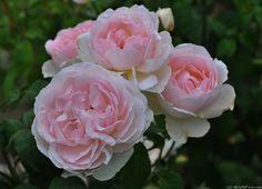 """Rose """" Sharifa Asma ® """" , (AUSreef) , bred by David C. H. Austin (United Kingdom, 1989)"""