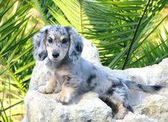 I am getting this dog :) sooo cute!