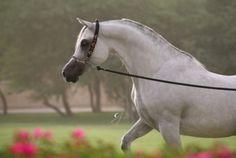 Arabian horse :)