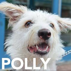 Adopt Polly! She is a 7 month old terrier poodle mix at RAS. She knows how to sit & loves to play. Visit her at 184 Verona St or call 585-355-7203 to foster her.