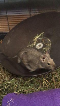 Degu, My Princess, Cute, Hamster Wheel