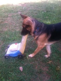 my 8 month old Zeus...now thats a working dog!