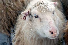Faroe sheep