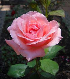 Роза флорибунда сорт Queen Elizabeth (Куин Элизабет)