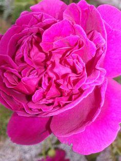 Perfume rose