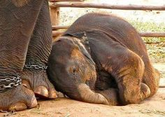 😔🐘Tourists support and pay for the enslaving and the suffering of elephants Circus Animal Abuse, Cycle Chain, How To Become Vegan, Wild Elephant, Stop Animal Cruelty, Animal Rescue Site, Broken Chain, Beautiful Creatures, Animals