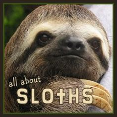 Why are sloths sooo slow? - Koala Funny - Funny Koala meme - - Why are sloths sooo slow? Koala Funny Funny Koala meme Why are sloths sooo slow? Koala Funny The post Why are sloths sooo slow? appeared first on Gag Dad. Koala Meme, Funny Koala, Cute Sloth, Funny Sloth, Sloth Memes, Sloth Cartoon, Ocelot, Aigle Harpie, Fun Facts About Sloths