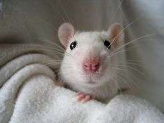 If You Think Rats Are Gross, Check Out These 25 Pictures. They'll Change Your Mind!