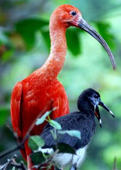 Scarlet Ibis Mother and Baby (floridapfe)
