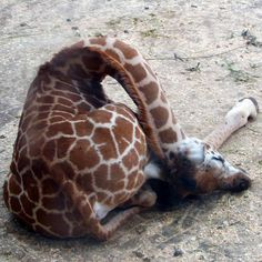 how giraffes sleep....