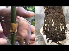 Propagation rose quickly thanks to banana peel Rose Cuttings, Plant Cuttings, Propagation, Garden Yard Ideas, Garden Projects, Growing Flowers, Growing Plants, Rose Bush Care, Rose Plant Care