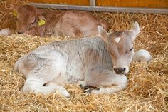 Guide to raising a healthy dairy calf, including disease prevention, iodine dips, scours, and stall ventilation. Very interesting article about raising dairy calves.
