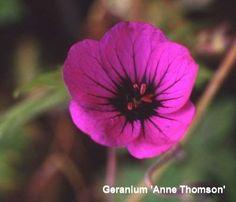 geranium_anne_thomson