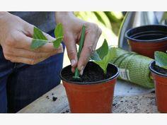 Hortensie Steckling einpflanzen