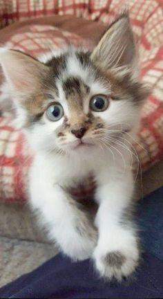 Pretty Cats, Beautiful Cats, Animals Beautiful, Cute Baby Animals, Animals And Pets, Funny Animals, Cute Kittens, Ragdoll Kittens, Kittens Cutest Baby