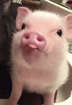 Cute Baby Pigs, Baby Animals Super Cute, Cute Piglets, Cute Little Animals, Baby Piglets, Little Pigs, Baby Animals Pictures, Cute Animal Photos, Funny Animal Pictures
