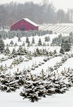 My dream, to live on a Christmas tree farm. Old Christmas Tree Farm. Christmas Tree Farm, Old Christmas, Merry Little Christmas, Country Christmas, Xmas, Christmas Scenery, Cheap Christmas, Natural Christmas, Christmas Music