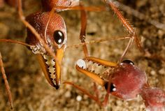 fearless and belligerent, the inch-long bulldog ant of Australia uses her sharp vision and venomous stinger to track and subdue formidable prey