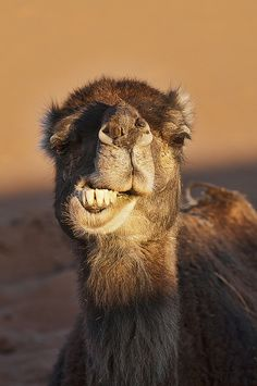 Looks like he's telling a joke: A priest, a minister, and a rabbit walk into a bar . . .(rabbit!??? Silly camel!) Camel close up in the Sahara Desert at Erg Chigaga, Morocco