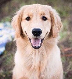 Famous Golden Retriever smile