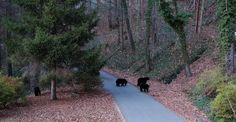 Black Bears crossing - along the Sunset Trail near the Grove Park Inn in Asheville, NC. A perennial sight in the area, especially in the Spring-time! | by Joe Franklin Photography on Flickr