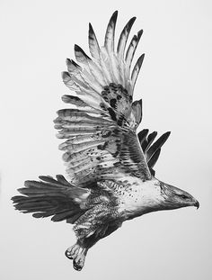 "Ferruginous Hawk by William Harrison Wolff Carbon Pencil ~ 30"" x 22"""