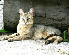 East India Jungle cat (Felis chaus kutas) Wikipedia, the free encyclopedia Chausie Cat, Bobcat Pictures, Black Footed Cat, Wild Cat Species, Small Wild Cats, Sand Cat, Spotted Cat, Carnivore, Jungle Cat