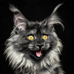 15 Insanely Majestic Maine Coons That Look Like Ancient Sorcerers Cute Cats And Kittens, I Love Cats, Crazy Cats, Cool Cats, Kittens Cutest, Beautiful Cats, Animals Beautiful, Cute Animals, Maine Coon Kittens