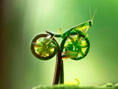 [EN IMAGE] Mante à vélo- 12 avril 2012 - Sciencesetavenir.fr